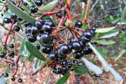 Tasmannia lanceolata